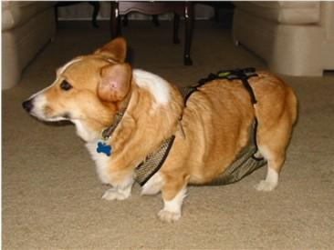 Can Male Dogs Wear Female Dog Diapers